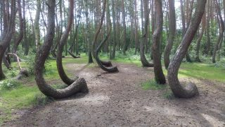 Krzywy Las(クシュヴィラス)、ポーランドの歪んだ木を求めて・・・