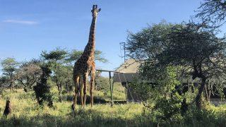 アフリカでのサファリ、過酷な自然界